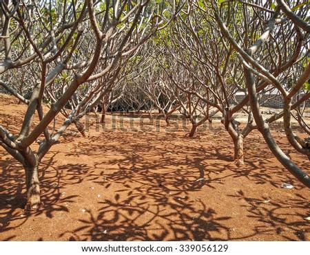 Plumeria Frangipani tree trunks in column layout spreading shade texture - stock photo