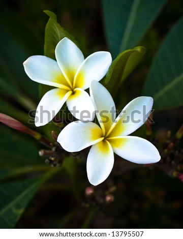Plumeria in Bloom - stock photo