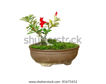Plumeria jardiniere - stock photo