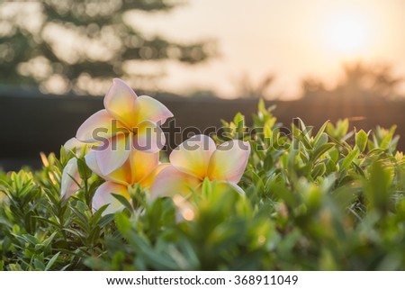 Plumeria on the leaves and beautiful morning light. - stock photo