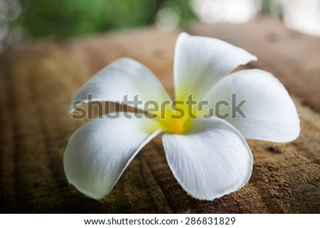 Plumeria on wooden floor for background and design