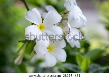 Plumeria or frangipani flower, Tropical flower. - stock photo