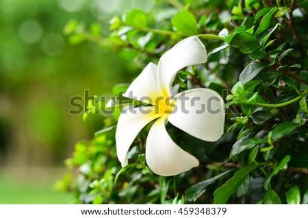 Plumeria or Frangipani tropical flowers.White plumeria flowers Vintage Filter Effect  - stock photo