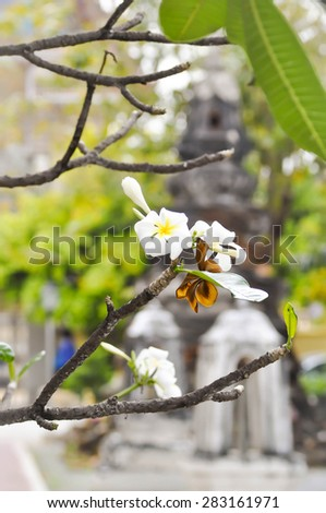 plumeria or pagoda tree in the temple - stock photo