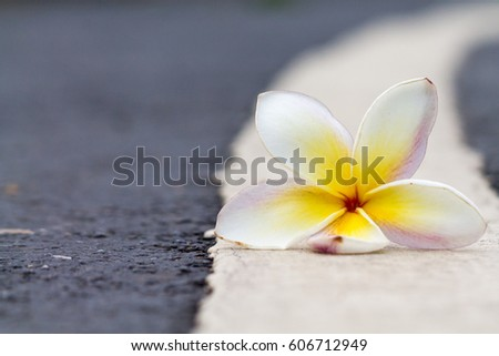Plumeria,Road floor,Single flower