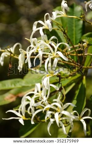 plumeria stenopetala flower in nature garden - stock photo
