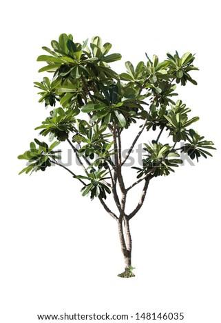 Plumeria tree (frangipani),Ornamental plants of Thailand,Tree in Thailand ,isolated on white background - stock photo
