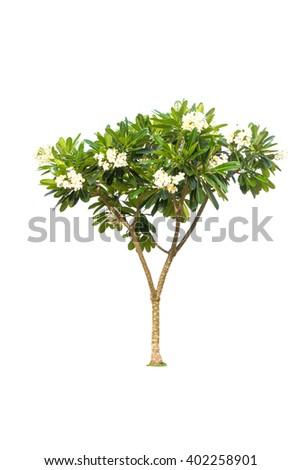 Plumeria tree isolated on white background - stock photo