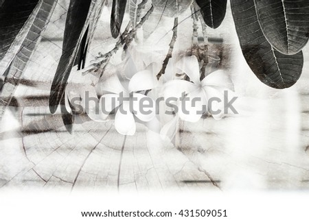 Plumeria Vintage Tone.flowers.Pink plumeria on the plumeria tree, frangipani tropical flowers.White plumeria.Plumeria flowers.Vintage Filter Effect.White plumeria on the plumeria tree. - stock photo