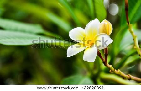 Plumeria Vintage Tone.flowers.White plumeria on the plumeria tree, frangipani tropical flowers.White frangipani on the frangipani tree. - stock photo