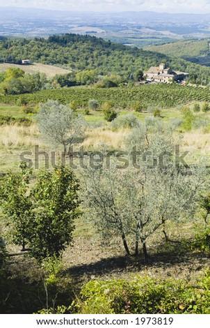 Plump Italian olive tree landscape 05. See more in my portfolio - stock photo