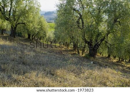 Plump Italian olive tree landscape 09. See more in my portfolio - stock photo