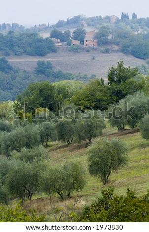 Plump Italian olive tree landscape 16. See more in my portfolio - stock photo
