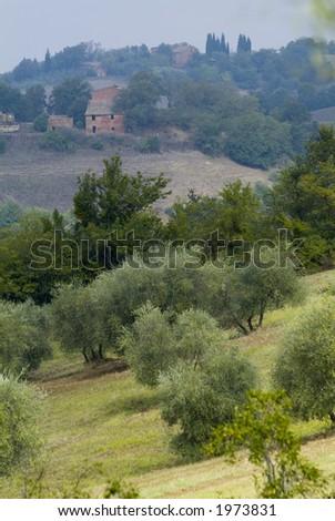 Plump Italian olive tree landscape 17. See more in my portfolio - stock photo