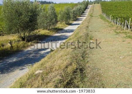 Plump Italian olive tree landscape 19. See more in my portfolio - stock photo