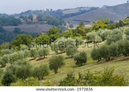 Plump Italian olive tree landscape 22. See more in my portfolio - stock photo
