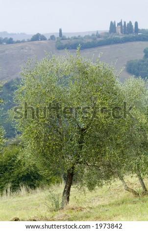 Plump Italian olive tree landscape 28. See more in my portfolio - stock photo