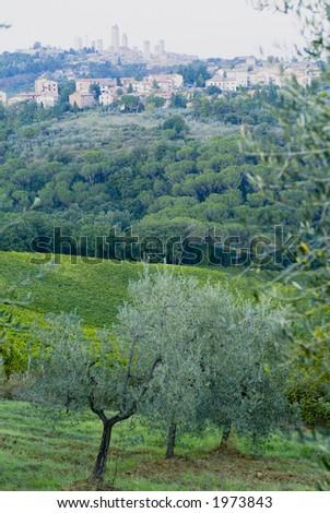 Plump Italian olive tree landscape 29. See more in my portfolio - stock photo