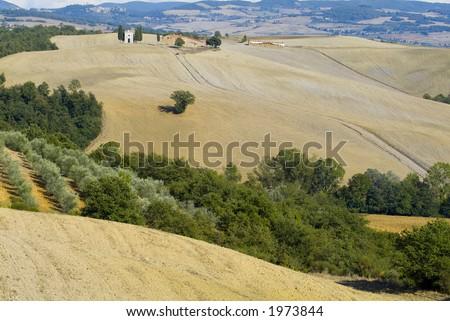 Plump Italian olive tree landscape 30. See more in my portfolio - stock photo