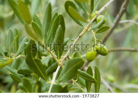 Plump Italian Olives on the tree 13. See more in my portfolio - stock photo