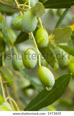Plump Italian Olives on the tree 25. See more in my portfolio - stock photo