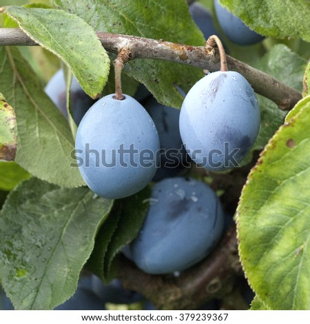 plums, Prunus, domestica