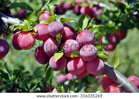Plums ripe on branch closeup . Ripe plums on a tree branch in the orchard. - stock photo