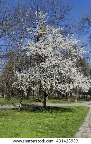 Plumtree in blossom through springtime in the park, Pancharevo, Bulgaria