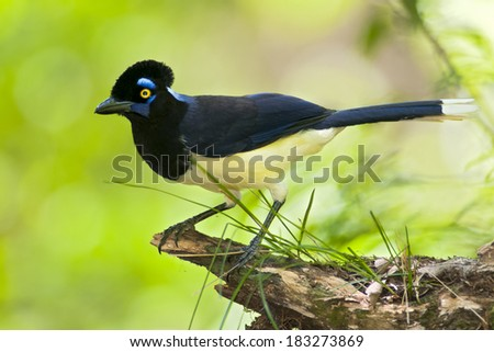 Plush-crested Jay (Cyanocorax chrysops). Paranaense forest, Misiones, Argentina, South America