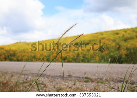poaceae with background of blur Mexican Tournesol garden