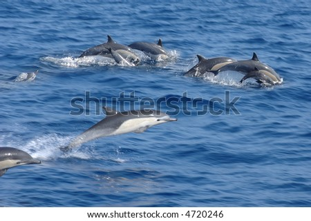 pod of dolphins leaping out of the water - stock photo