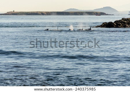 pod of orcas in Vancouver Canada - stock photo