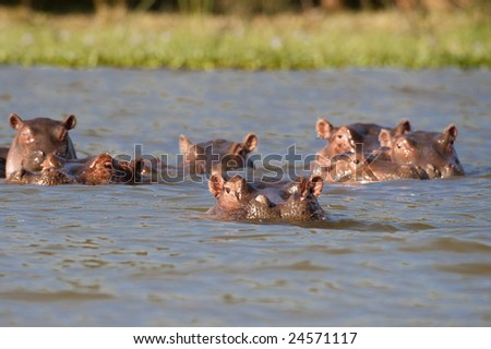 Pod of six Hippopotamuses (Hippopotamus amphibius kiboko) relaxing in shallow water of Naivasha lake, Kenya