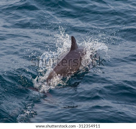 Pod of striped dolphins Azores - stock photo