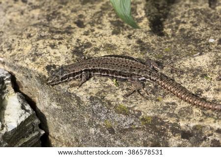 Podarcis muralis, Common wall lizard from Lower Saxony, Germany - stock photo