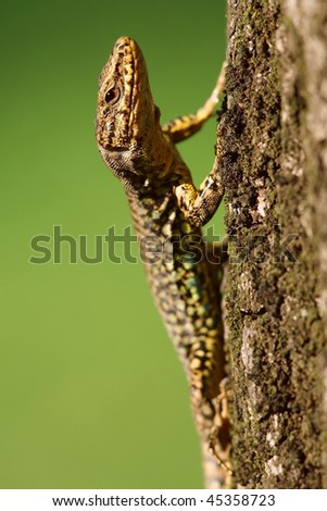 Podarcis muralis, wall lizard, adult male - stock photo