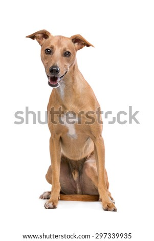 Podenco dog sitting on front of a white background