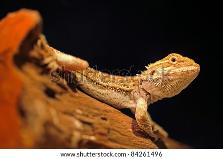 Pogona vitticeps, bearded dragon. Also known as Pogona lizards. These are found on the throat, which can be expanded when threatened. It can squirting blood from back of it eyes to scare predator. - stock photo
