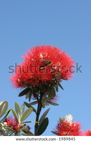 Pohutuakawa flower, also referred to as the New Zealand Christmas Tree