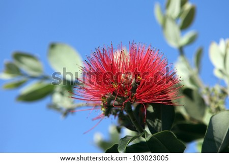 Pohutukawa Flower, known as the New Zealand Christmas Tree - stock photo