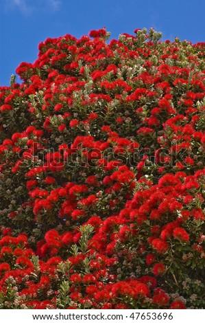 Pohutukawa or Christmas Tree Taken in Akaroa, New Zealand - stock photo