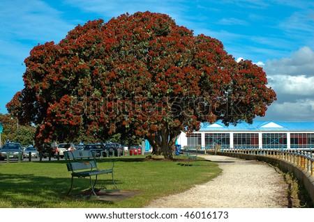 Pohutukawa or Christmas Tree Taken in Auckland Devonport, New Zealand - stock photo