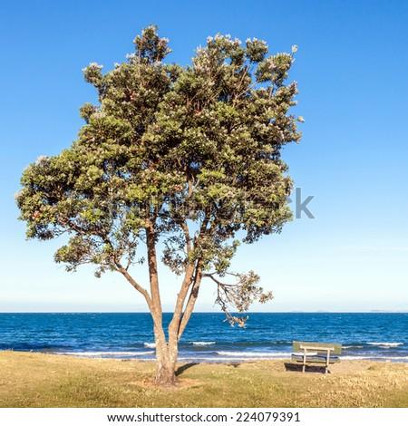 Pohutukawa tree (Metrosideros excelsa), on the beach coastal evergreen tree endemic, travelling in New Zealand. - stock photo