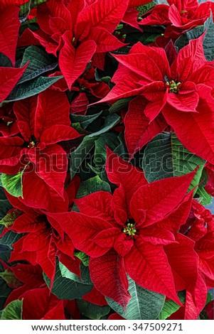 poinsetta/Star 4/Christmas flowers plant - stock photo
