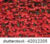poinsettia background - stock photo
