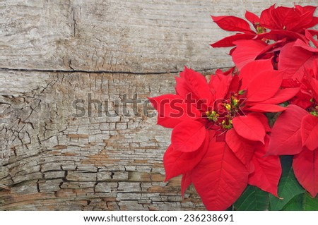 poinsettia. Christmas flower on wooden background