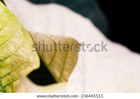 Poinsettia (Euphorbia Pulcherrima) - beautiful leaves with details  - stock photo