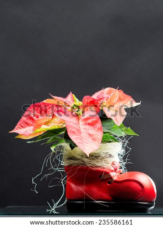 Poinsettia (Euphorbia Pulcherrima) - beautiful plant  with flowers and details - stock photo