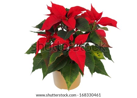 Poinsettia (euphorbia pulcherrima), knows also as Christmas star.