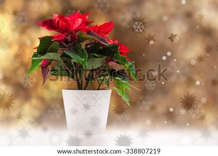Poinsettia (euphorbia pulcherrima), knows also as Christmas star. - stock photo